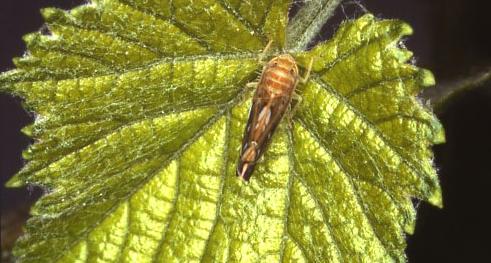 Alla ricerca di soluzioni sostenibili per combattere i batteri delle piante - s.titanus adulto